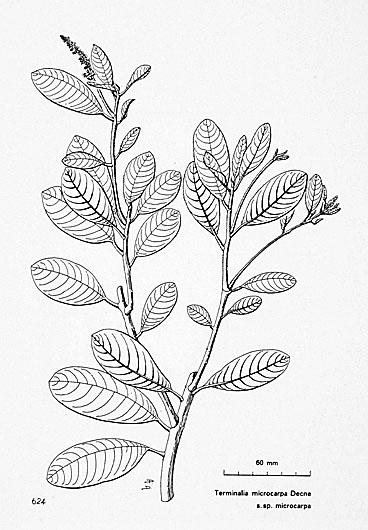Pngtreeskey Terminalia Microcarpa Decne